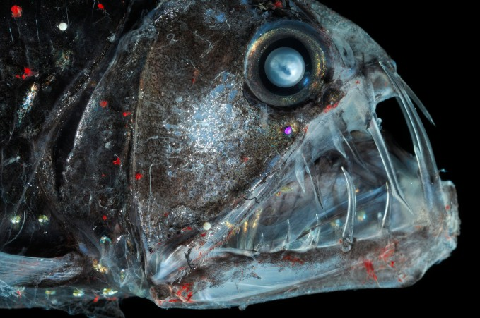 Deep Sea Viperfish {Chauliodus sloani} with chromatophores and bioluminescence, Atlantic ocean